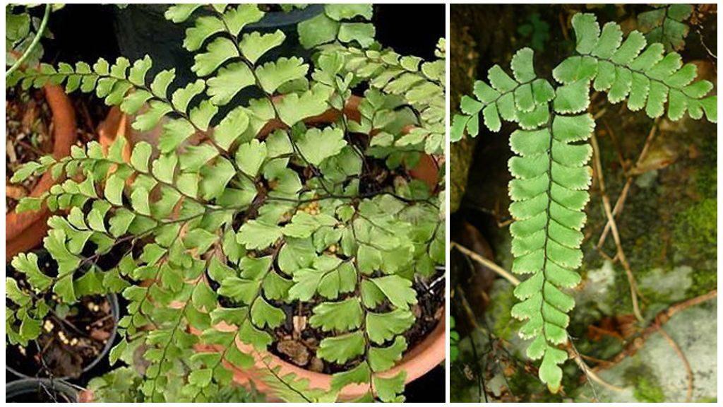 Адиантум прозрачный (Adiantum diaphanum Blume)