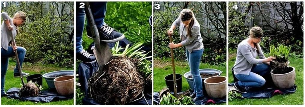Размножение агапантуса делением куста