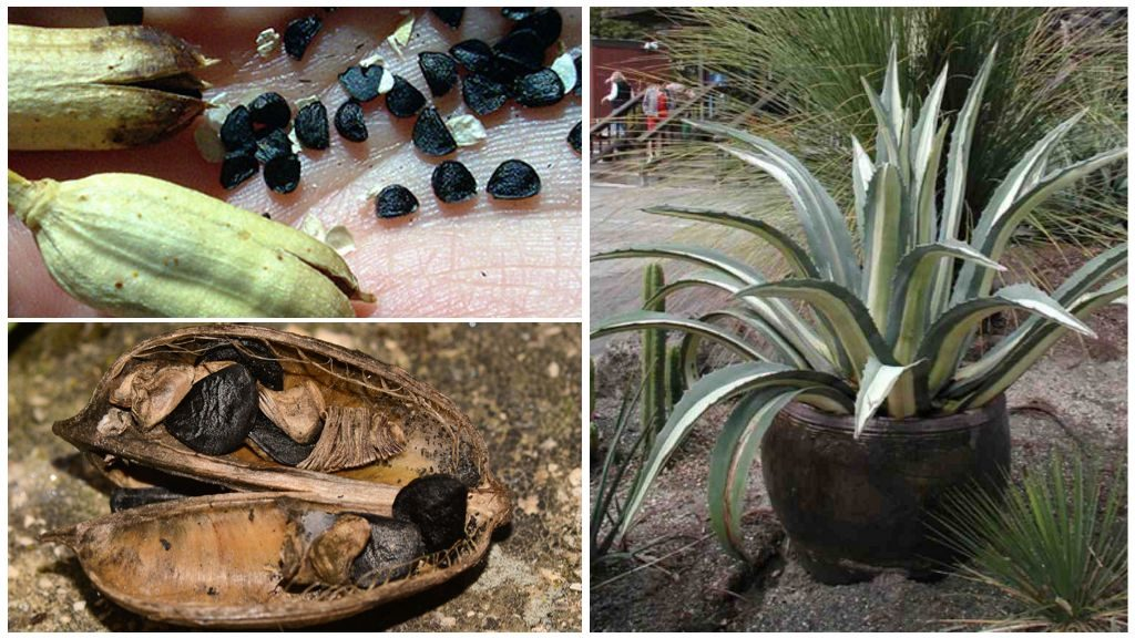 Семена агавы