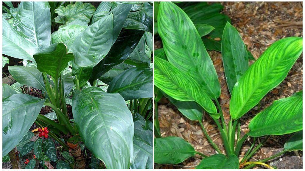 Аглаонема продолговатолистная (Aglaonema marantifolium)