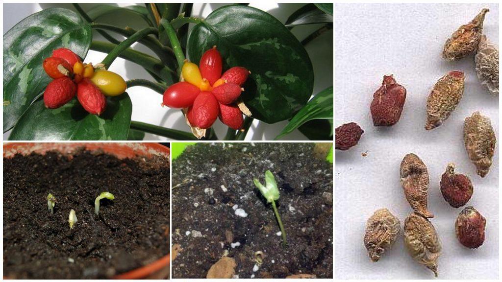 Аглоанема из семян