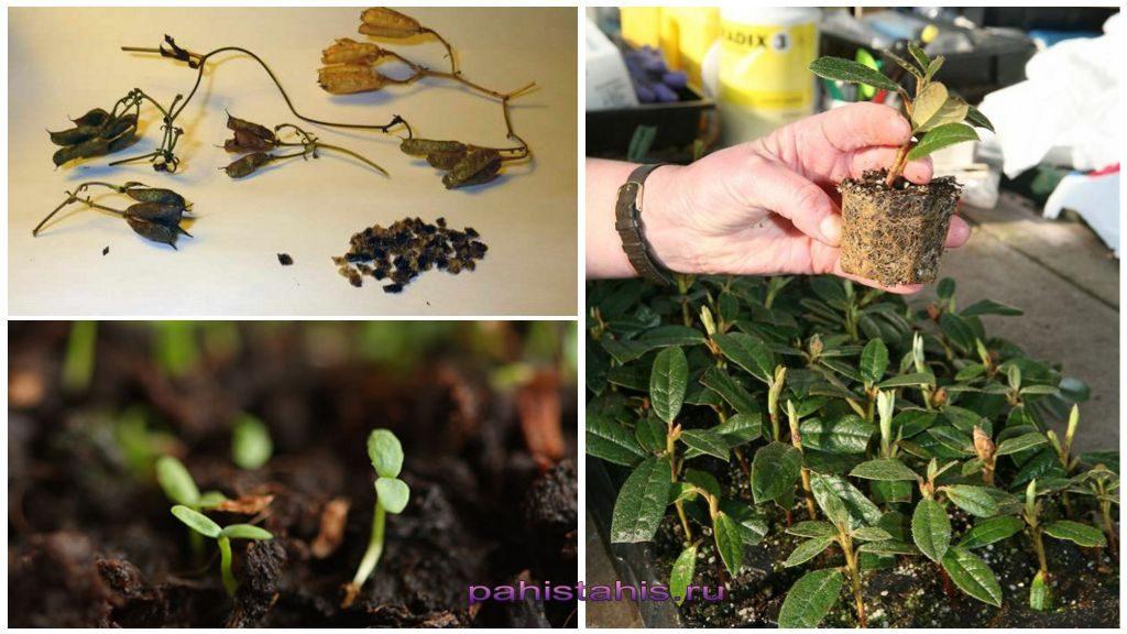 Размножение азалии семенами