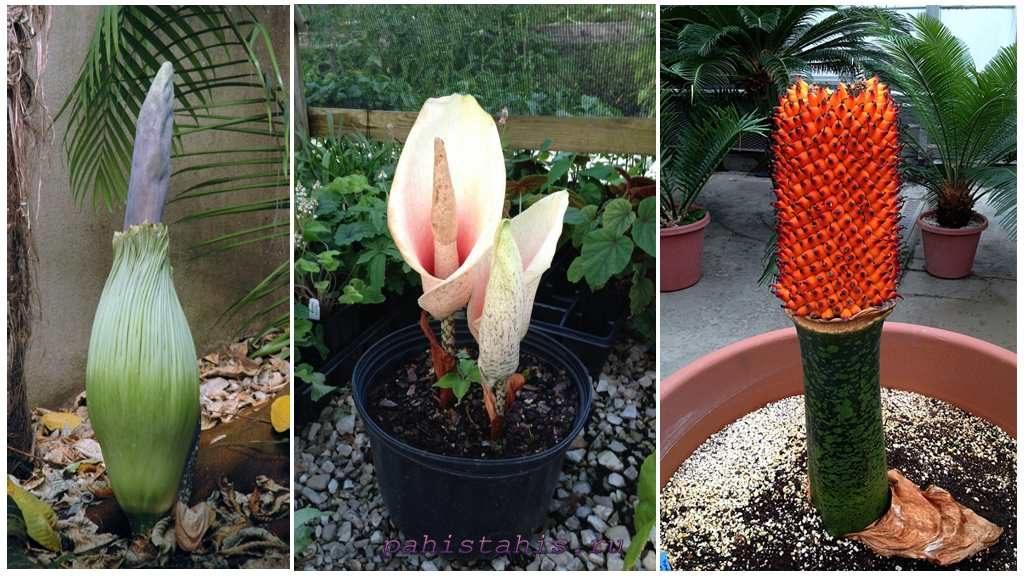 Три периода цветения аморфофаллуса: бутон, цветок, плоды