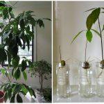 Домашний авокадо