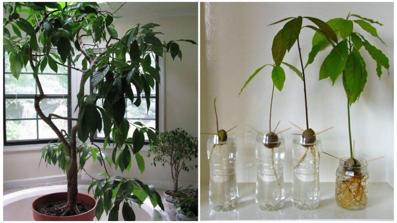 Выращивание авокадо в домашних условиях. Уход за домашним авокадо ...
