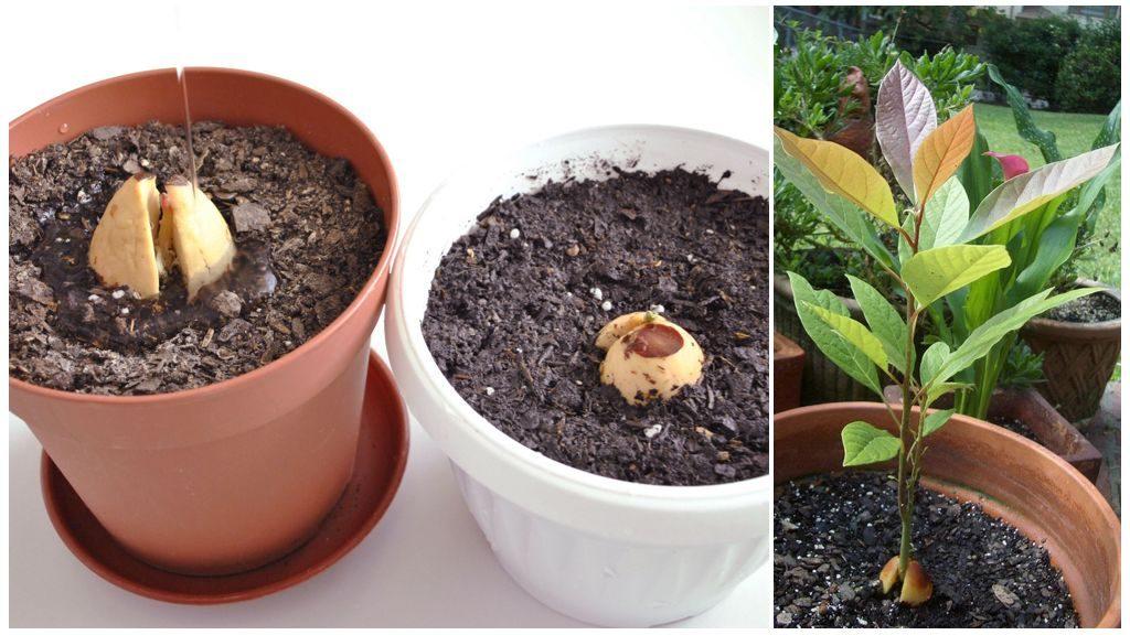Выращивание авокадо закрытым способом