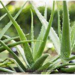Алоэ  - цветок домашний: уход, содержание и размножение