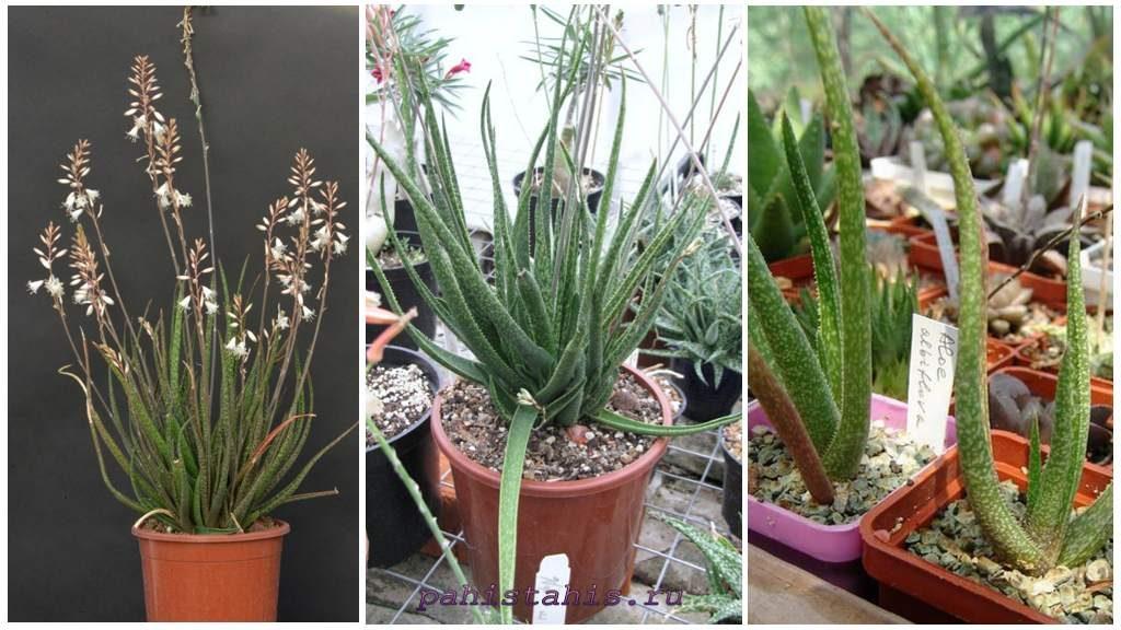 Алоэ белоцветковое (Aloe albiflora guillaumin)