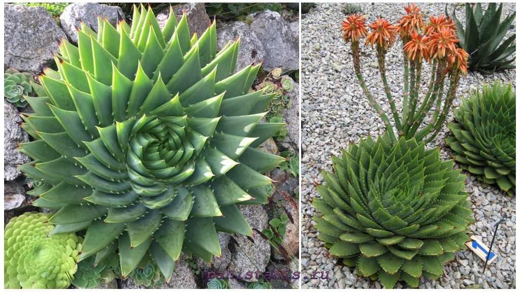Алоэ спиральное или многолистное (Aloe polyphylla)