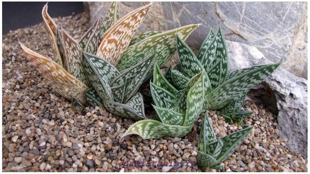 Алоэ сладениана (Aloe sladeniana)