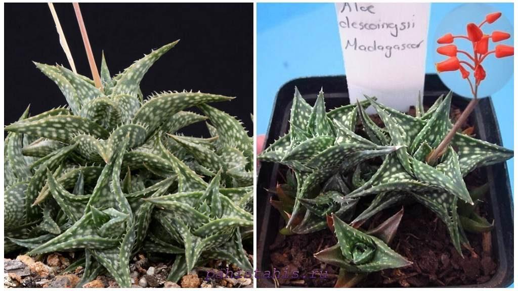 Алоэ дескоингса (Aloe descoingsii Reynolds)