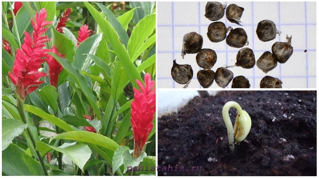 Размножении альпинии семенами