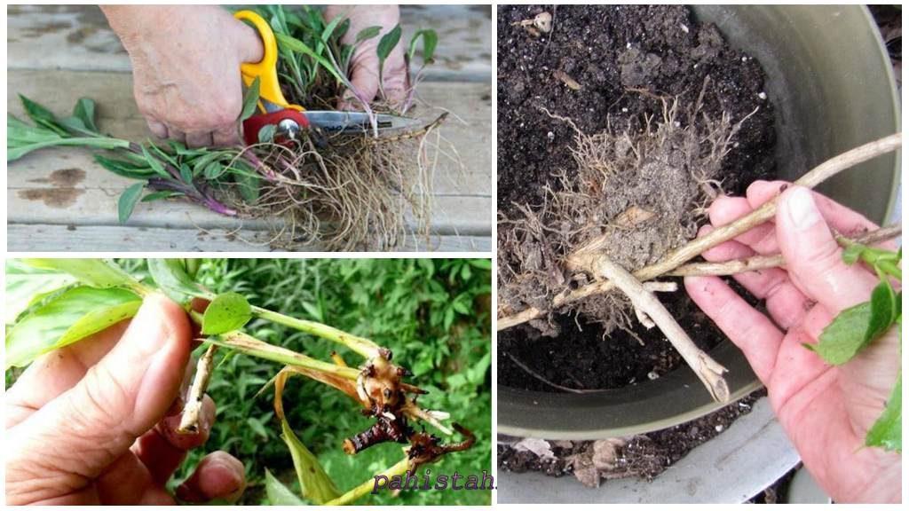 Размножение растения корнями