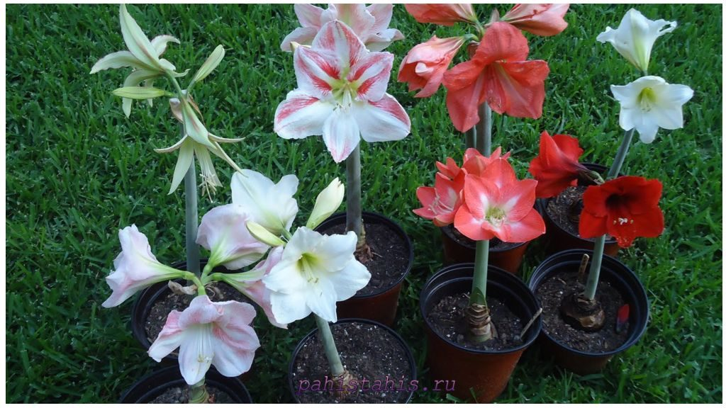 Цветущий амариллис фото
