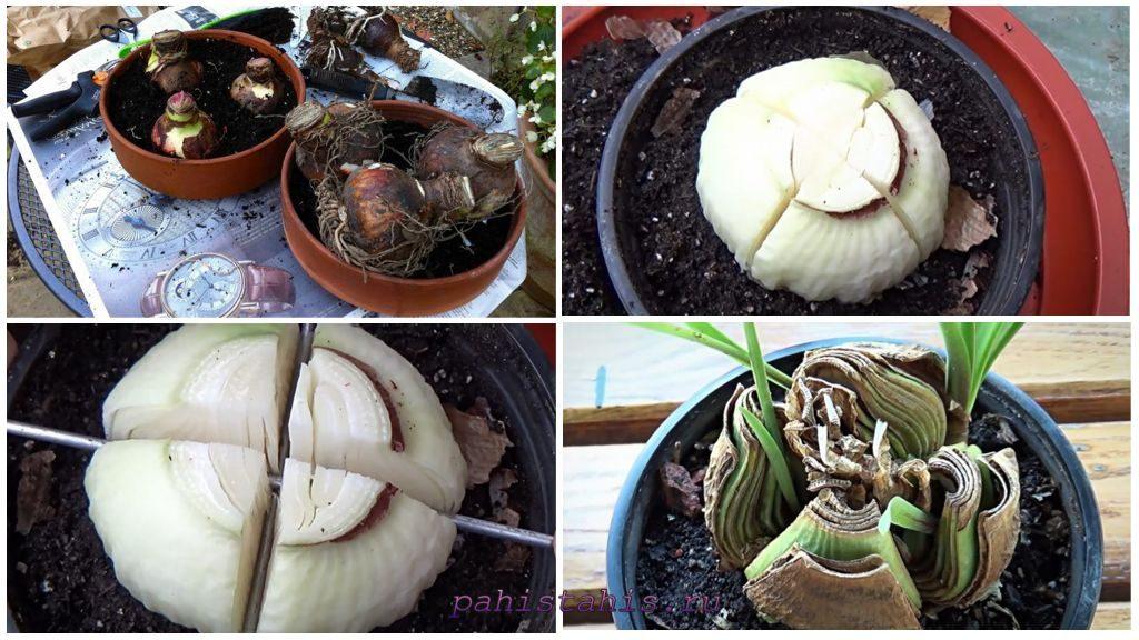 Размножение амариллиса делением луковицы