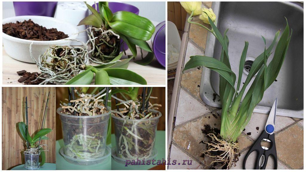 Размножение орхидеи делением корня
