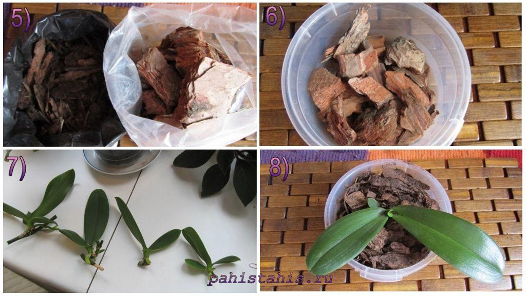Размножение орхидеи отростками