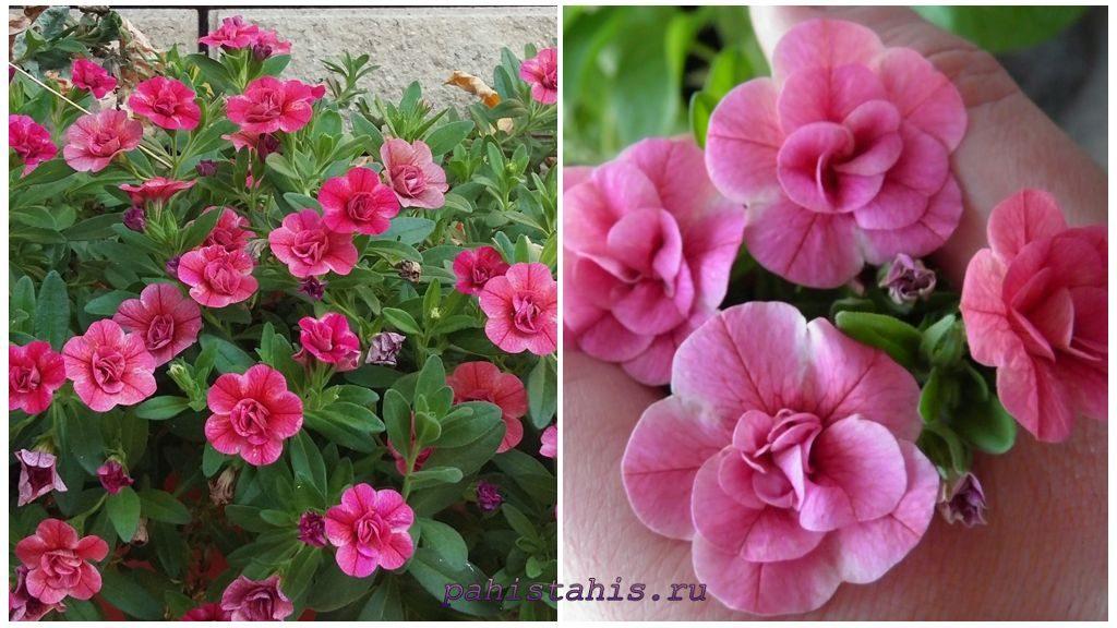 Калибрахоа Aloha Double Pink