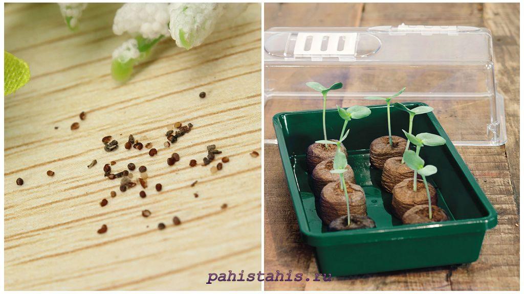 Калибрахоа размножение семенами