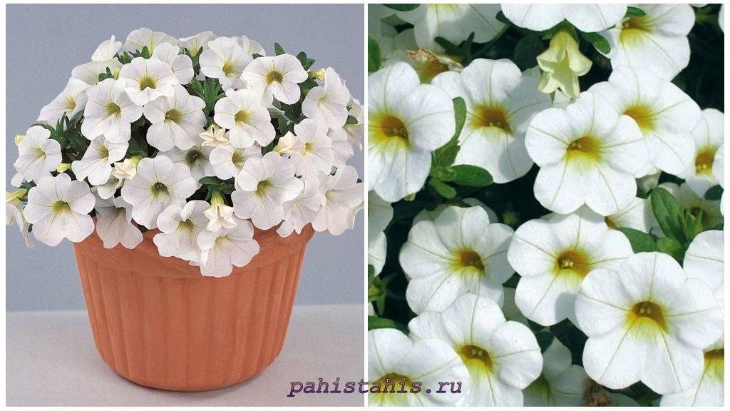 Калибрахоа Calipetite White