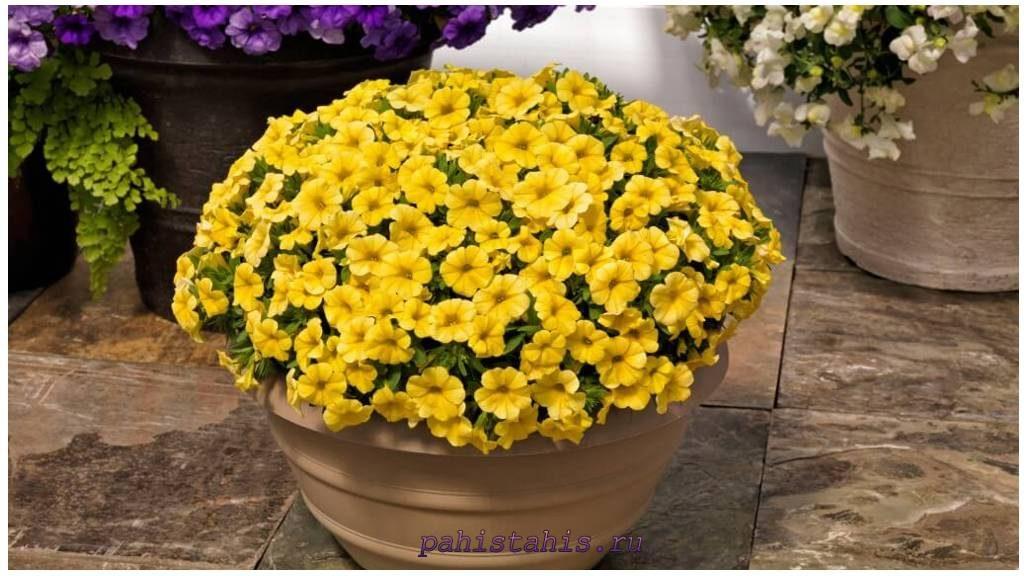 Калибрахоа Calipetite Yellow