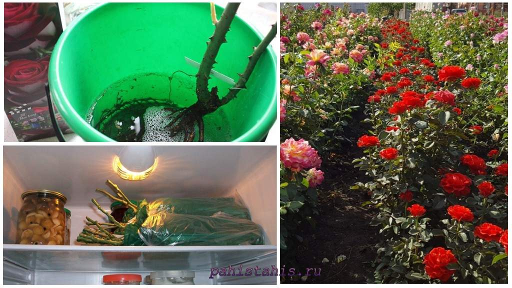 Хранение саженца розы в холодильнике