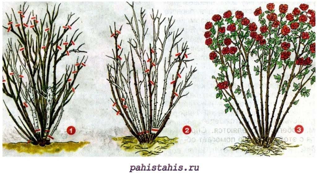 Обрезка кустовой розы