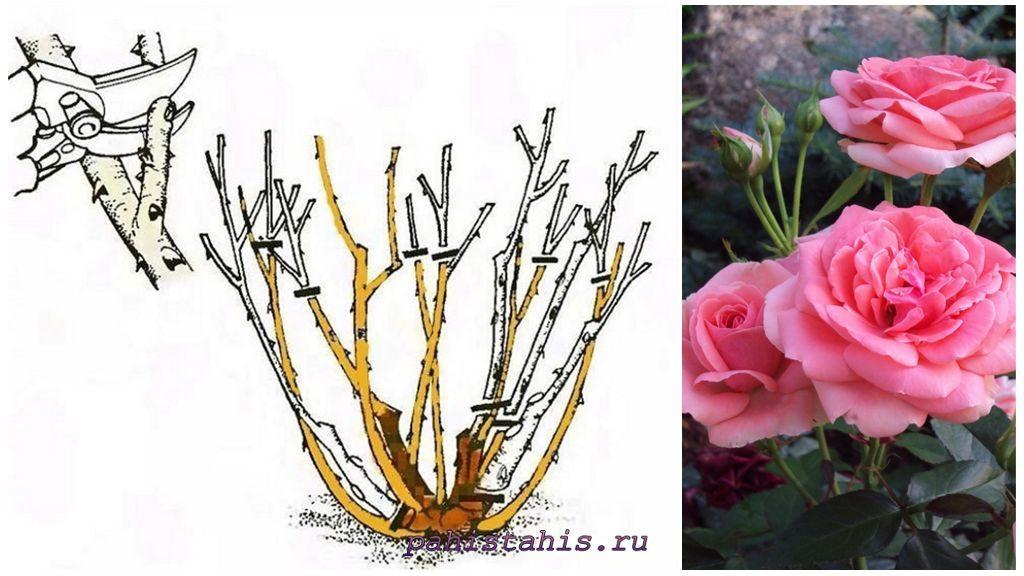 Роза Флорибунда: обрезка весной