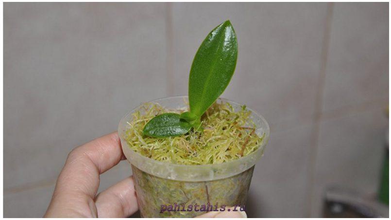 Размножение орхидей в пластиковой бутылки