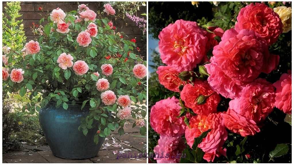 Розы для выращивания в контейнерах