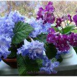 Стрептокарпус: уход и выращивание в домашних условиях