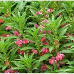 Бальзамин садовый: уход, секреты выращивания