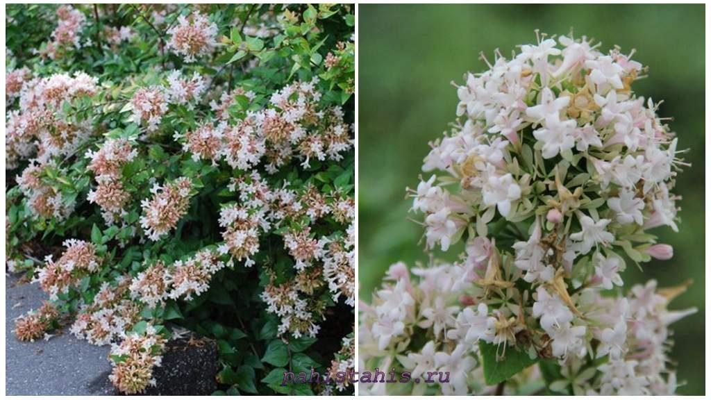 Абелия китайская (Abelia chinensis)