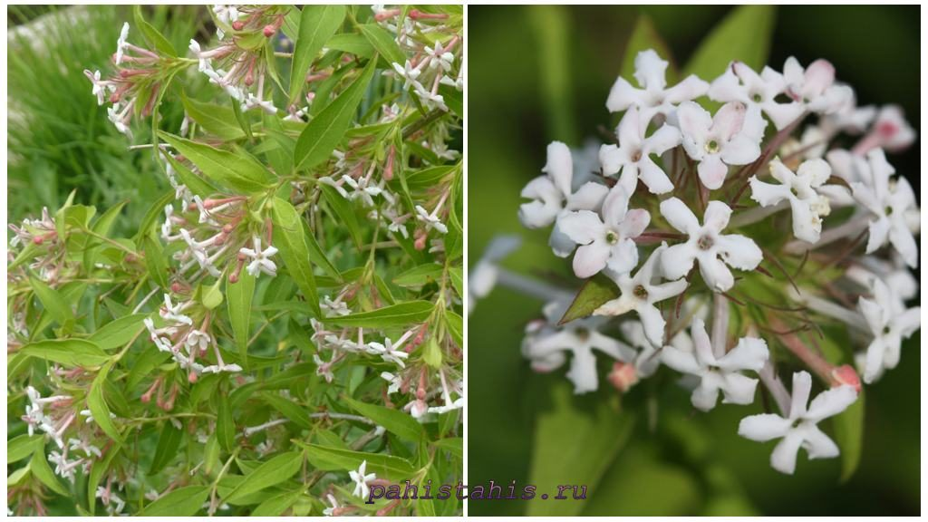 Абелия трехцветковая (Abelia triflora)
