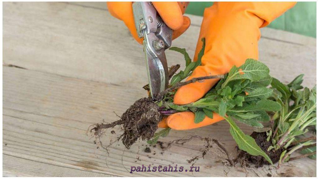 Шалфей размножение делением корня