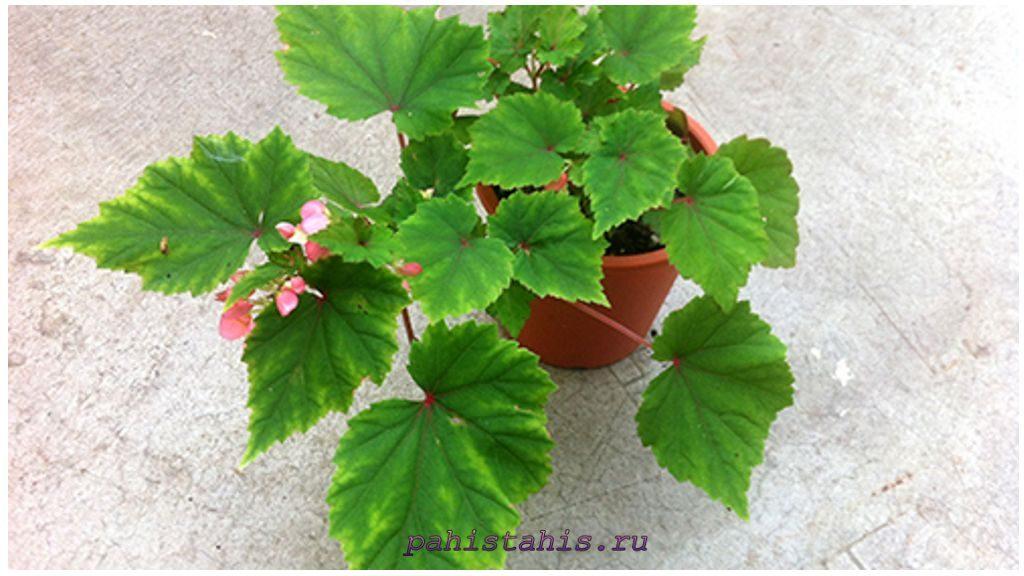 Бегония вельтона (Begonia weltoniensis)