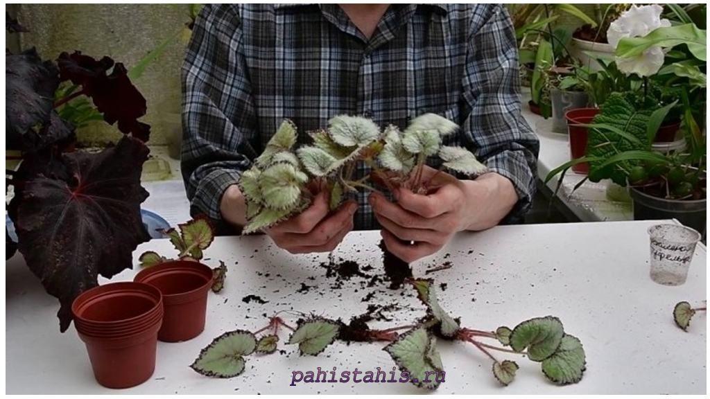Бегония размножение делением корневища