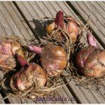 Когда приобретать луковицы импортных лилий?