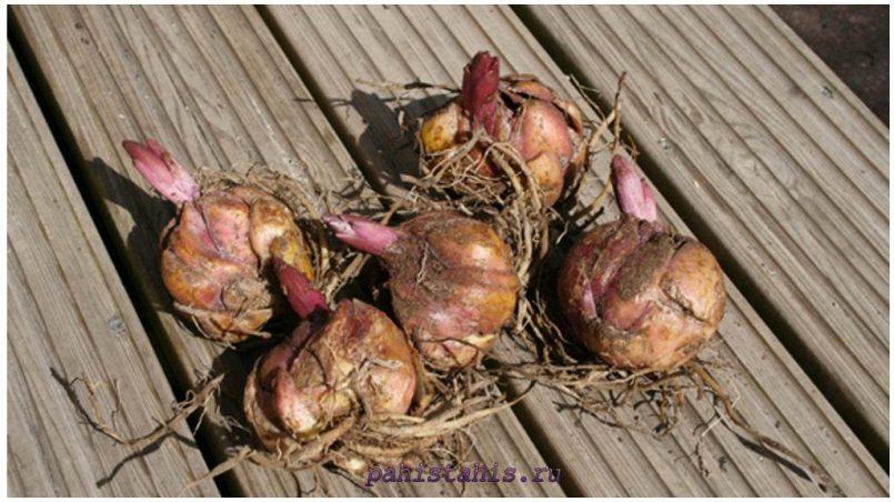Когда приобретать луковицы импортных лилий