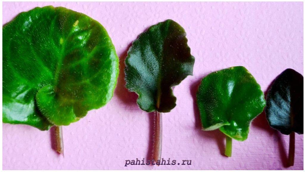 Правильно срезать листок для размножения фиалки