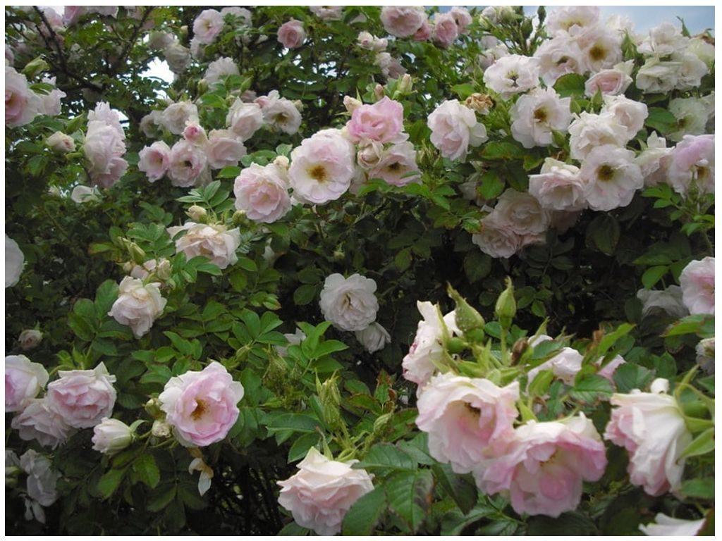 Роза Ritausma