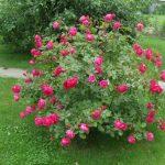Как укрыть розы на зиму осенью