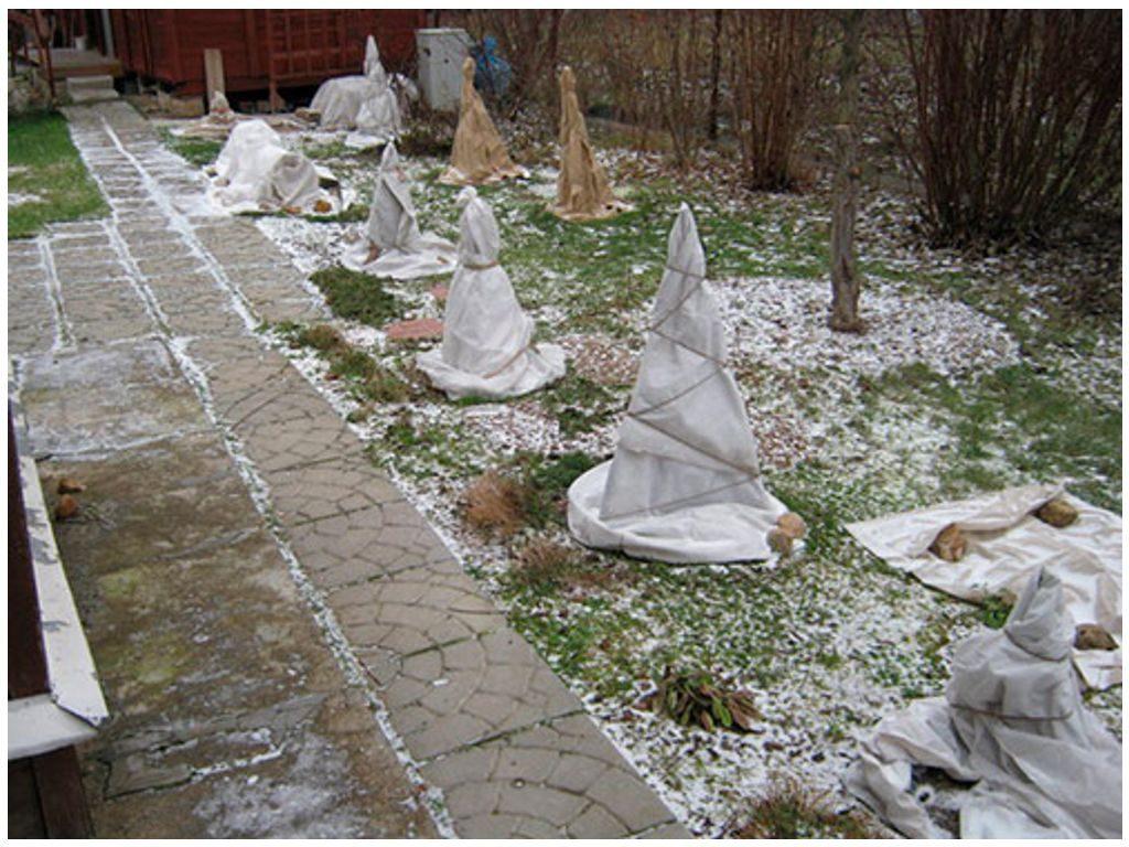 Укрытие роз на зиму
