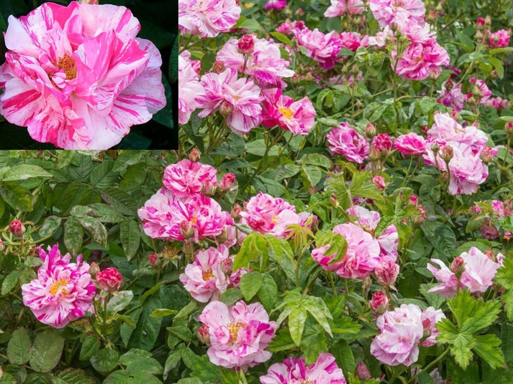 Экзотический сорт роза Мунди