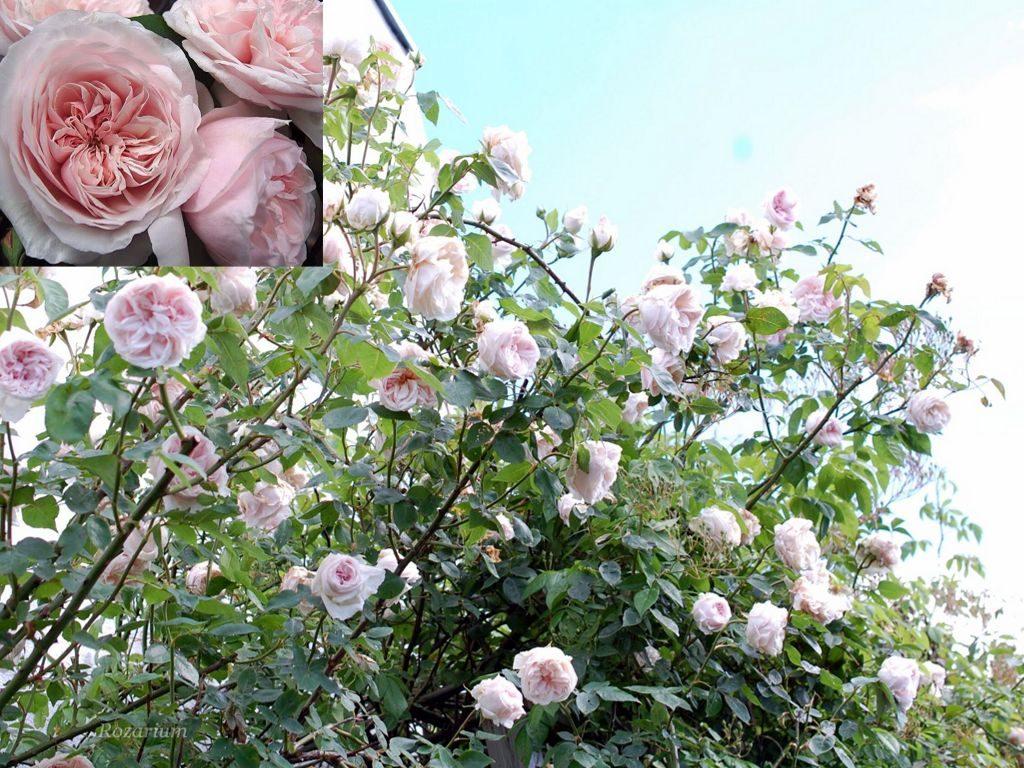 Роза Souvenir de la Malmaison