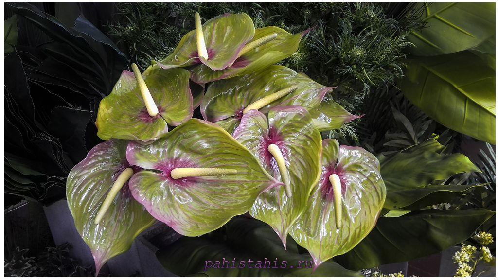 Антуриум цветение