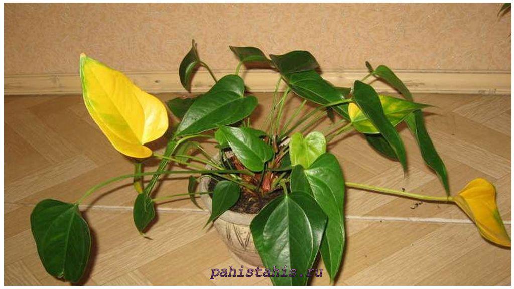 У антуриума желтеют листья