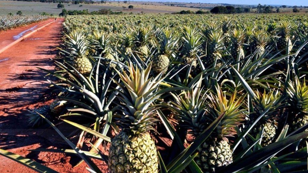 где выращивают ананасы