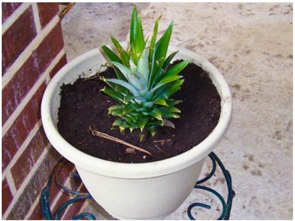 Rак вырастить ананас