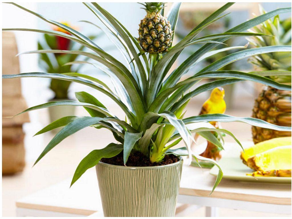 Отростки ананаса